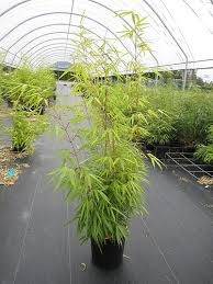 bambous fargesias à planter en haie