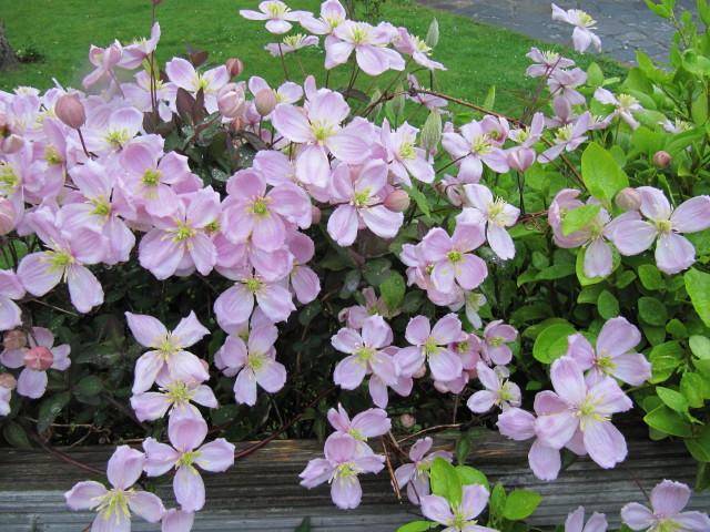 clématite montana, une plante grimpante pour le soleils à fleurs roses