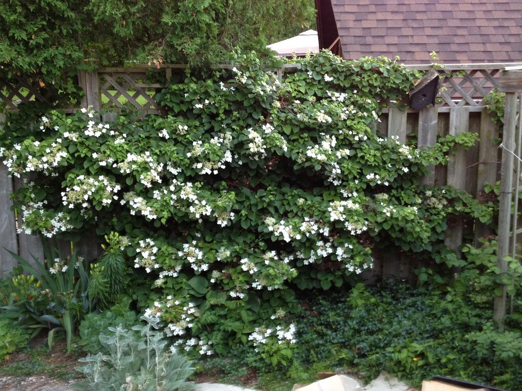 Hortensia grimpant persistant, une plante grimpante qui fleuri à l'ombre sur une clôture