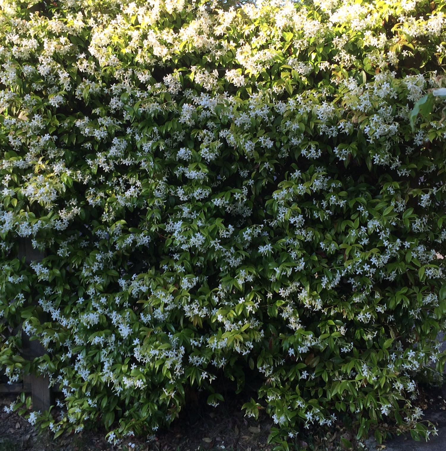 le jasmin étoilé est une plante grimpante persistante qui fleurit sur un treillage