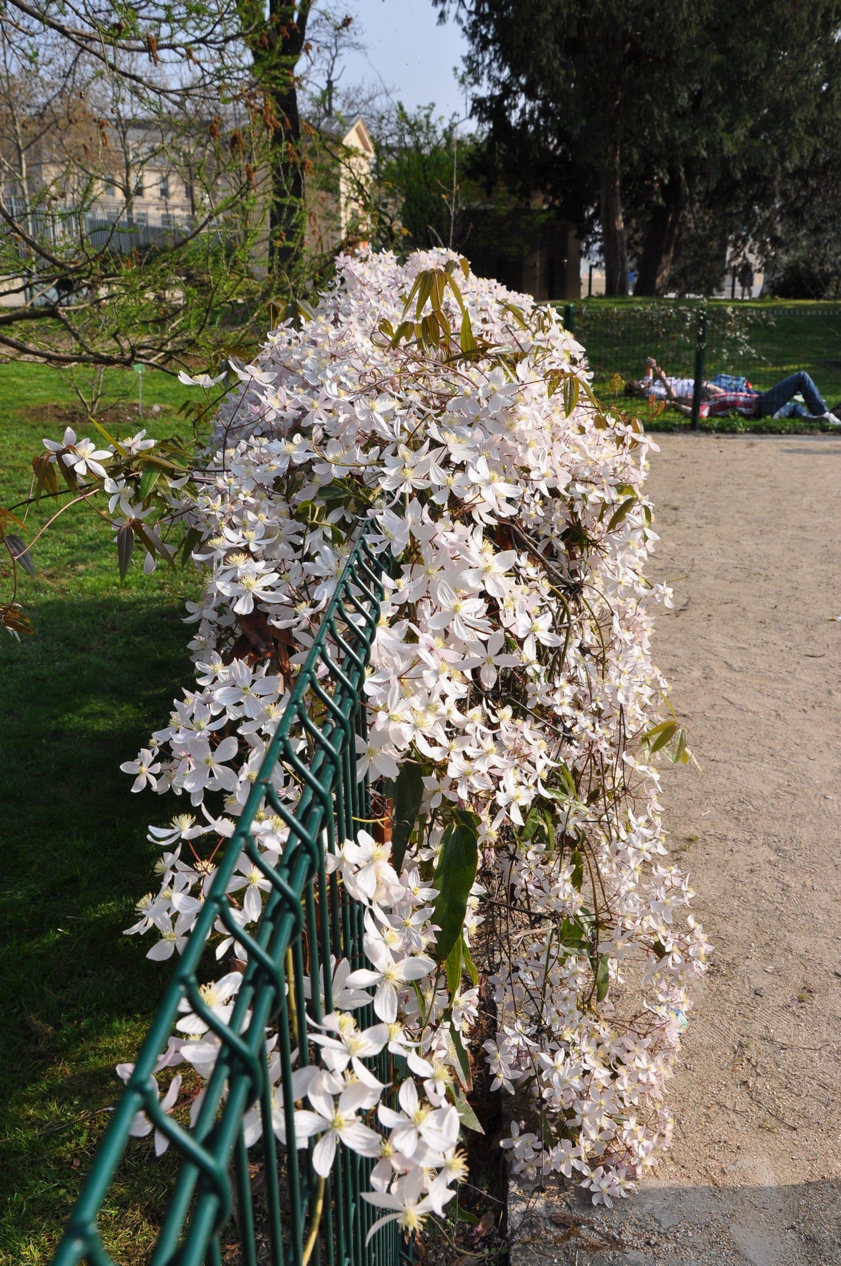 Clematite Armandii, une belle plante grimpante à fleurs sur un grillage de jardin