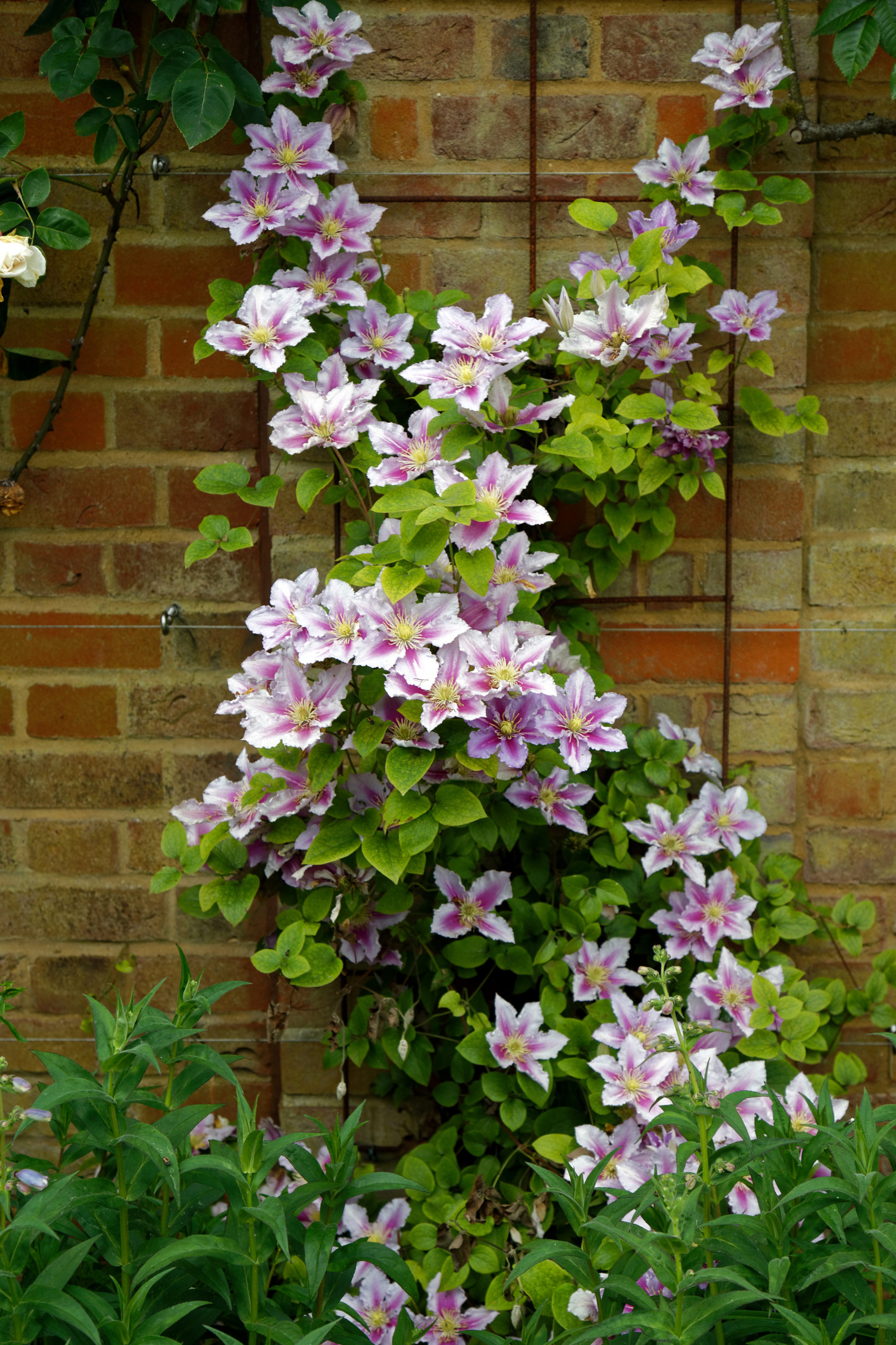 la clématite, une plante grimpante très jolie sur un mur