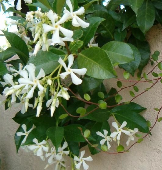 jasmin trachelospermum jasminoide, une plante grimpante à fleurs blanches étoilées qui sent bon sur un mur