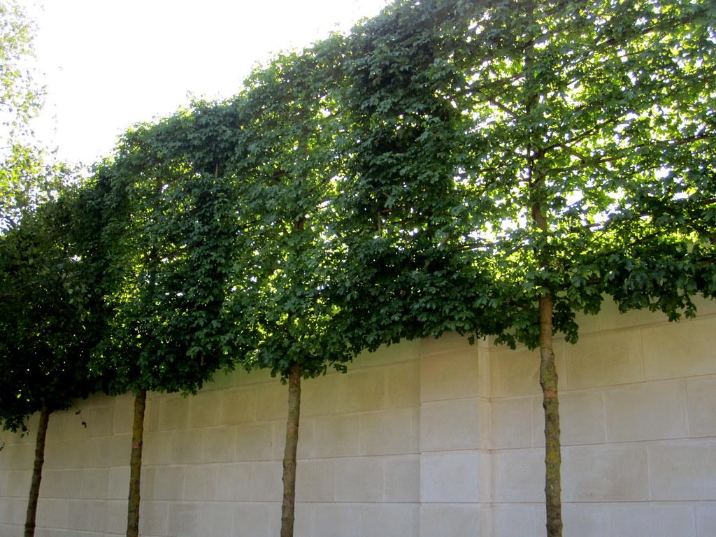 arbres palissés pour le vis à vis d'une fenêtre