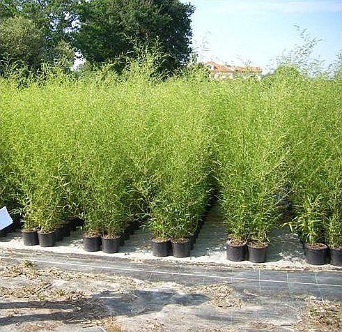 haie de bambous pour le vis à vis d'une fenêtre