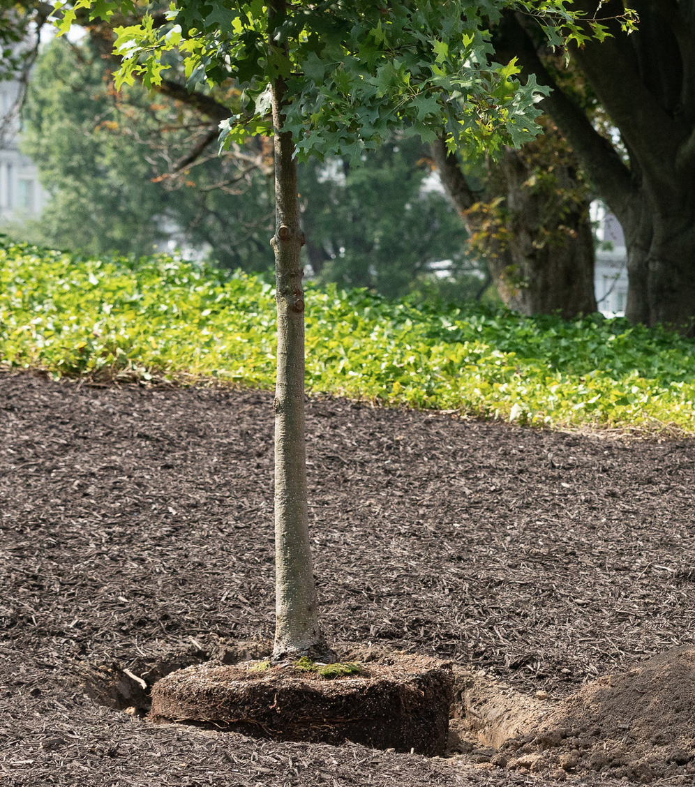 plantation d'un arbre contre les vis à vis