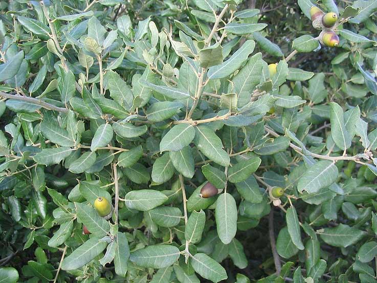 feuillage persistant du chêne vert, un arbre idéal pour les vis à vis en hauteur
