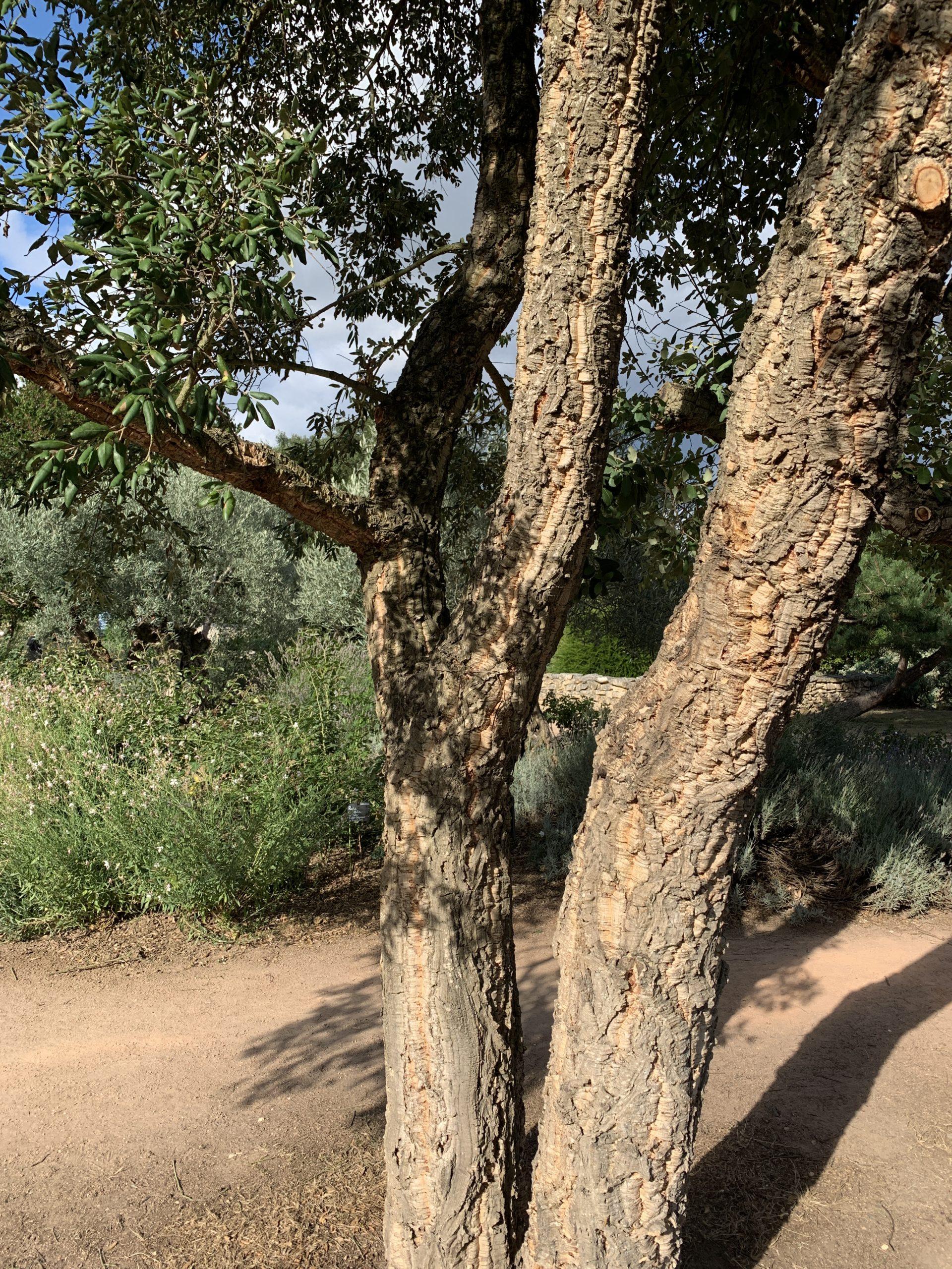 tronc du chêne liège, un arbre persistant brise vue