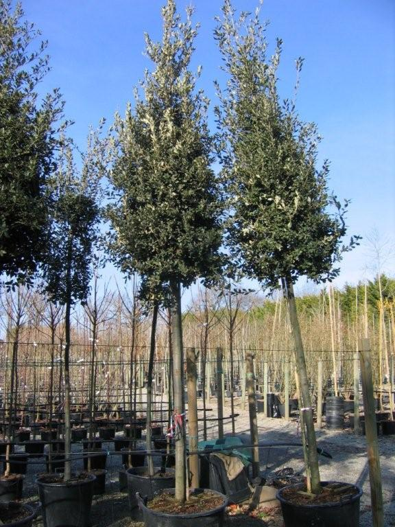 le chêne vert, un arbre persistant pour cacher le vis à vis d'une fenêtre