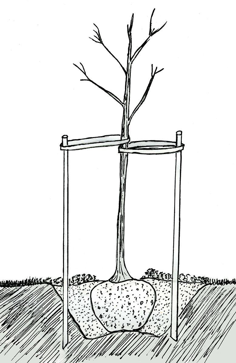 tuteurage d'un arbre contre les vis à vis