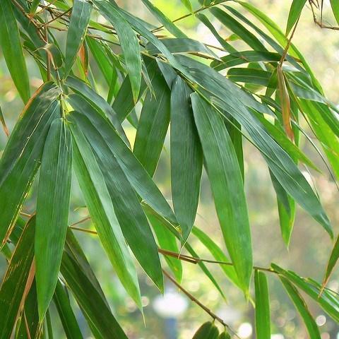 feuillage du bambou persistant pour cacher la vue