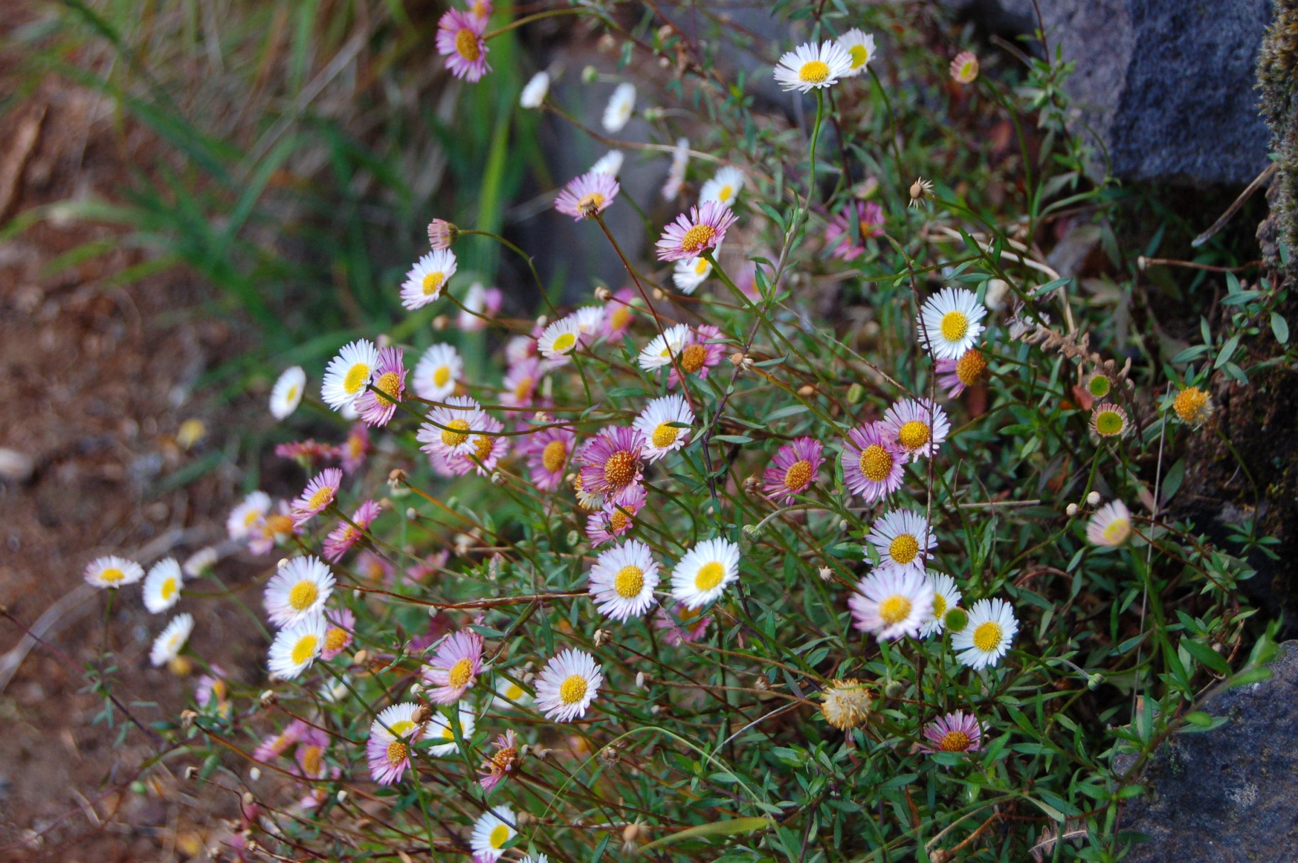 érigerons karvinskianus fleurs, une vivace qui fleuri longtemps