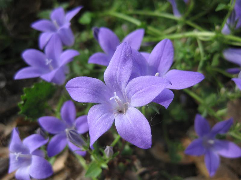 campanula muralis fleurs de cette vivace bleue