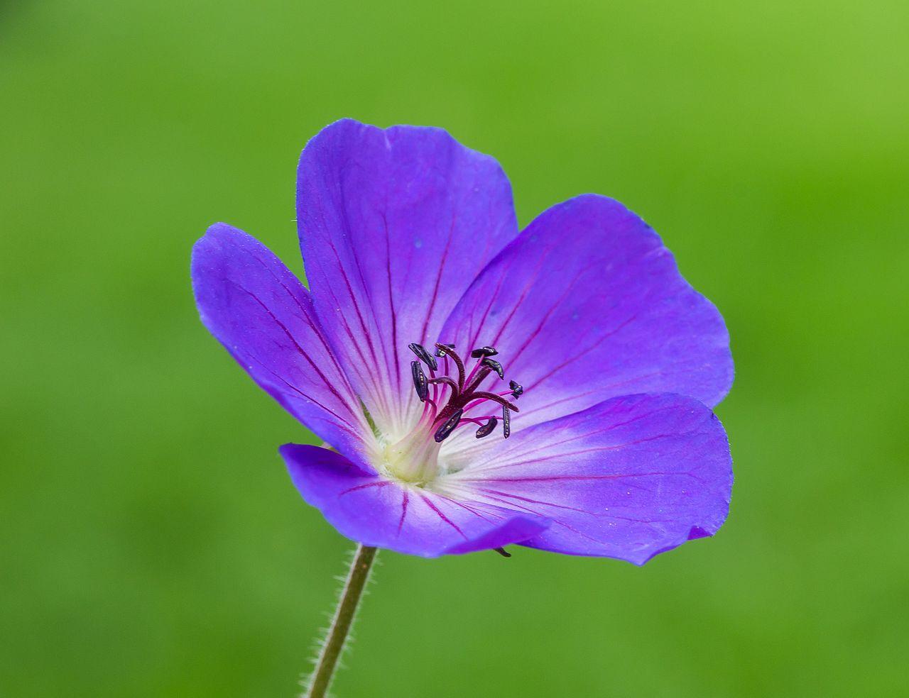 géranium vivace Roxanne fleuri longtemps