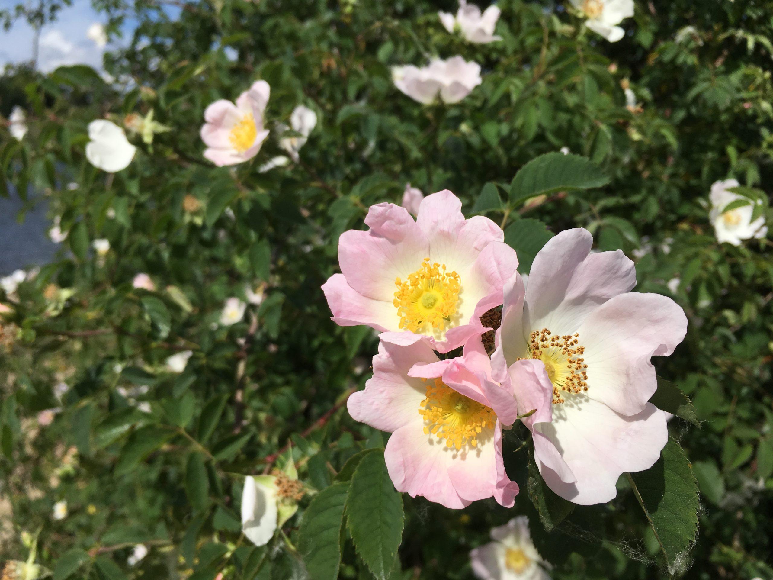 Eglantier plante sauvage comestible à fleurs