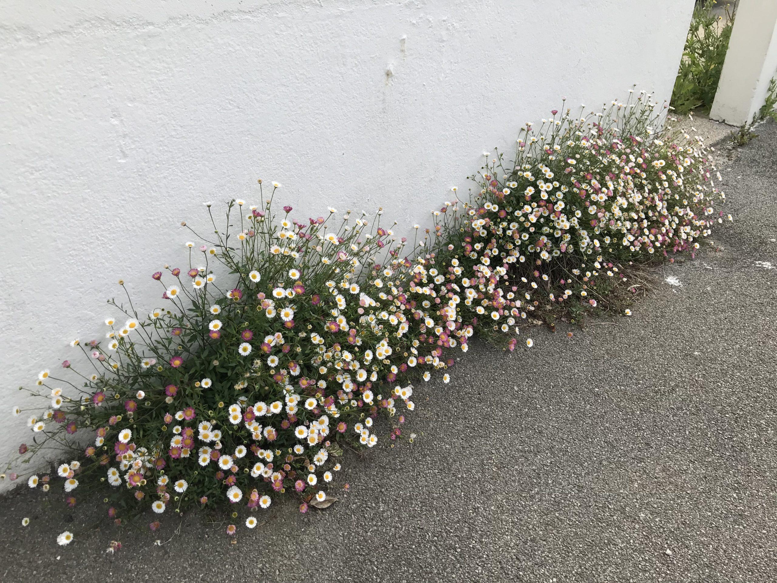 Erigeron en fleurs, une plante vivace florifère
