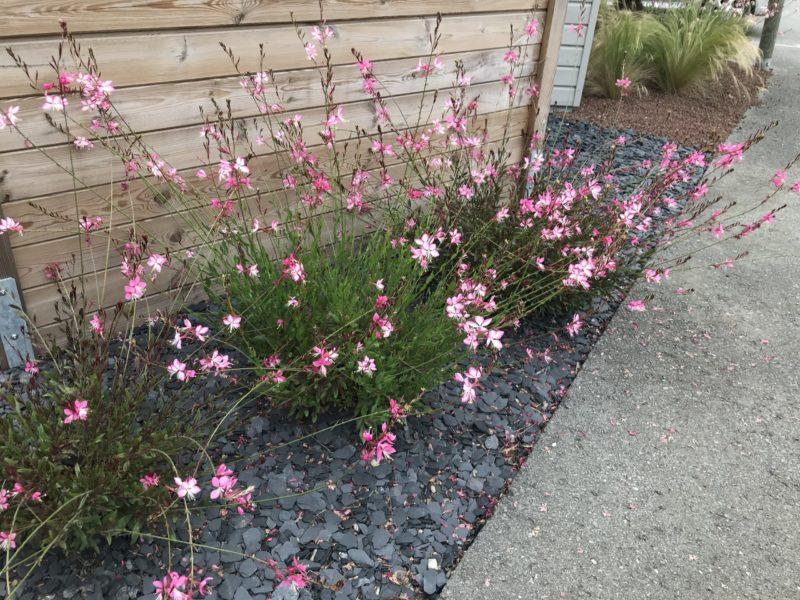 Gaura rose, une belle plante vivace pour le soleil