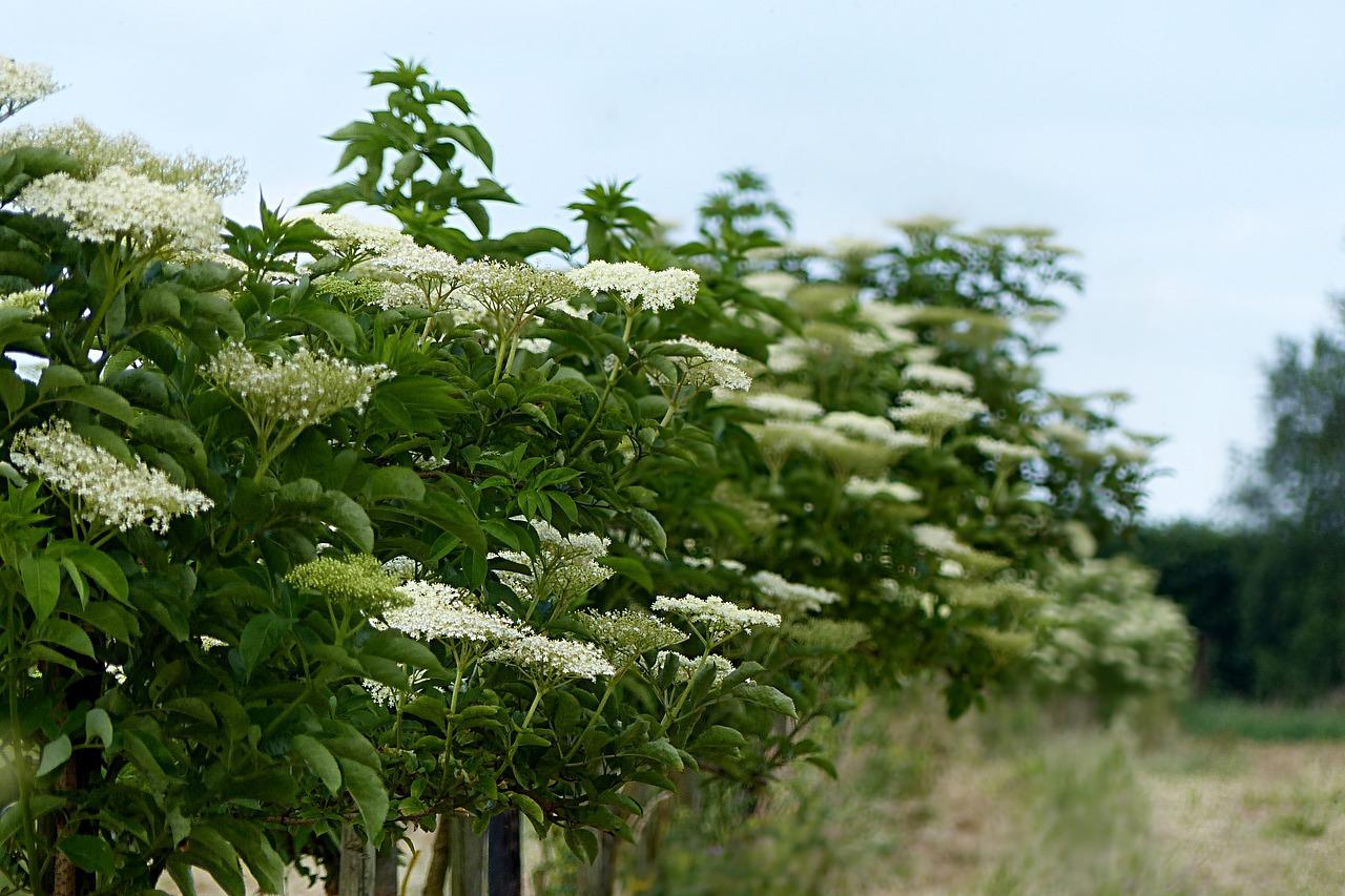 sureau noir plante sauvage comestible