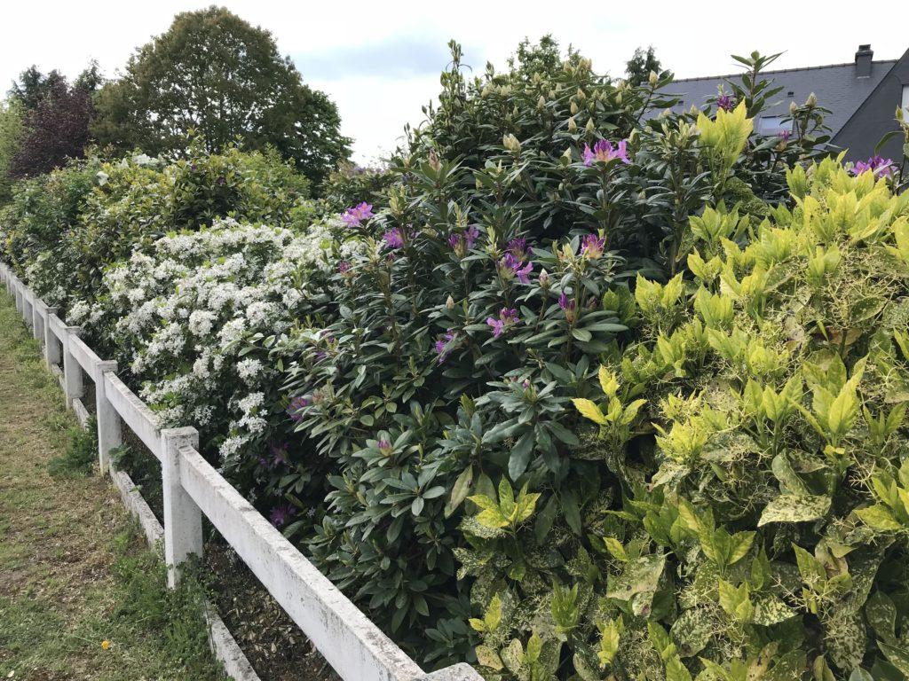haie d'arbustes persistants variés avec des fleurs et des feuillages de couleurs différentes
