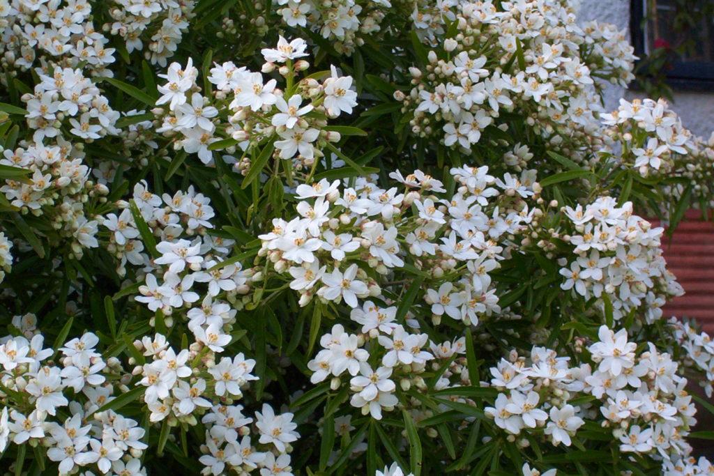 Oranger du Mexique, un arbuste persistant à fleurs blanches
