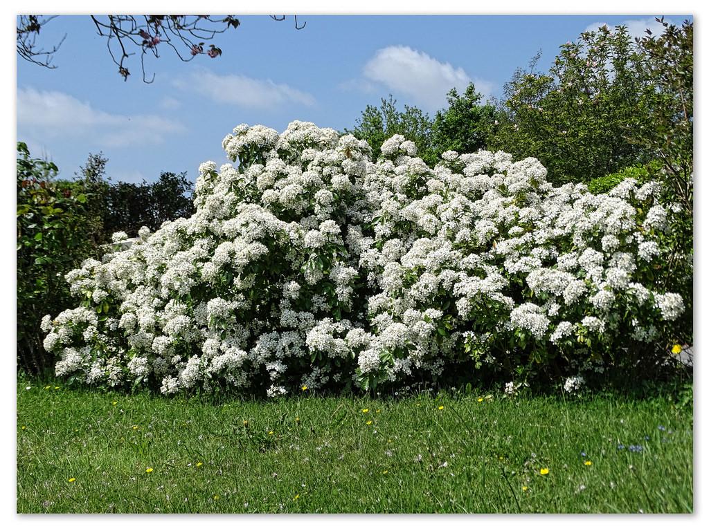 Le Choisya ternata ou oranger du Mexique est un arbuste persistant à fleurs blanches parfumées