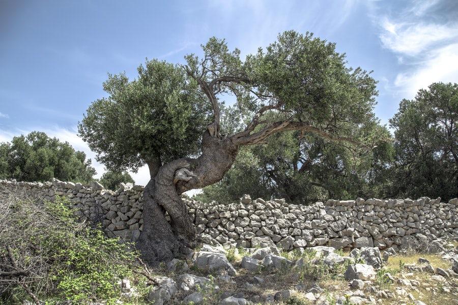 olivier planté au soleil le long d'un mur exposé Sud