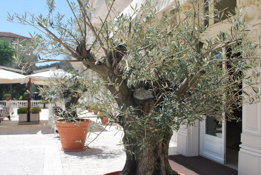 planter un olivier dans le nord et le rentrer durant l'hiver