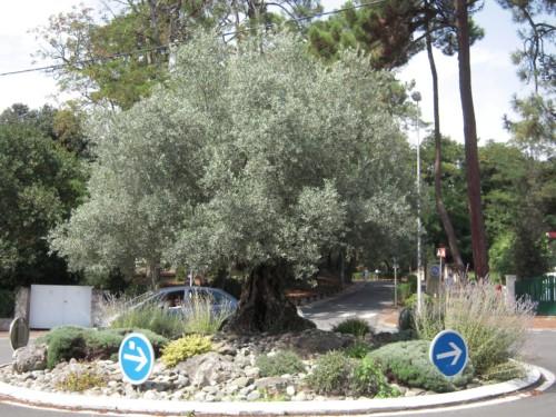 plantation d'un olivier avec un paillage minéral au pied