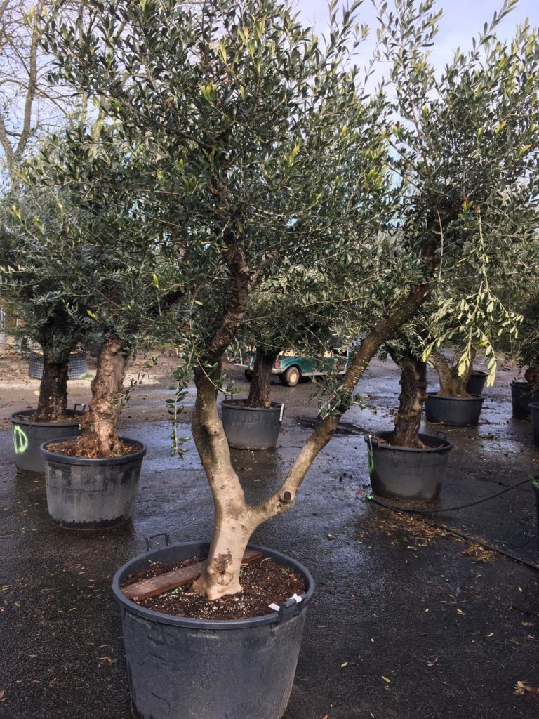 comment planter un olivier de forme toscane avec ses grosses branches