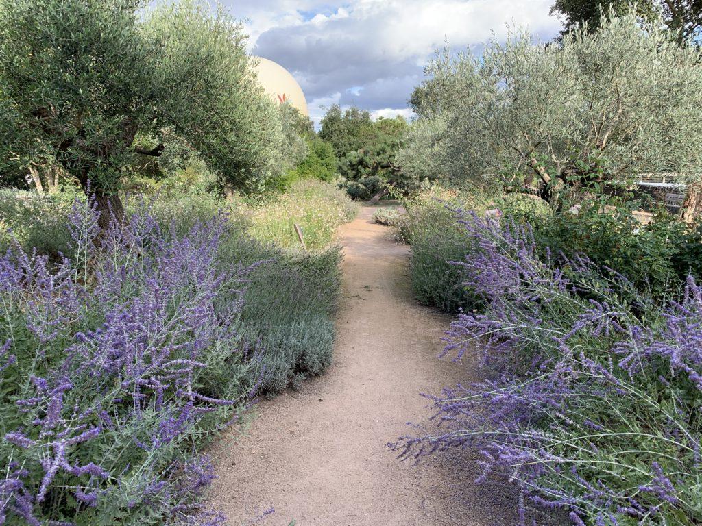 comment planter un olivier et le mettre en valeur dans le jardin avec des plantes méditerranéennes à son pied