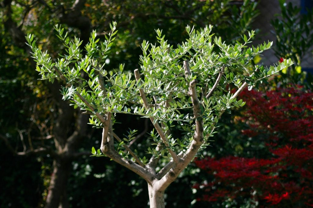 comment planter un olivier et le tailler