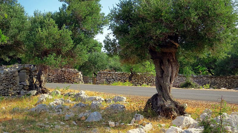 cultiver un olivier dans une terre caillouteuse et drainante