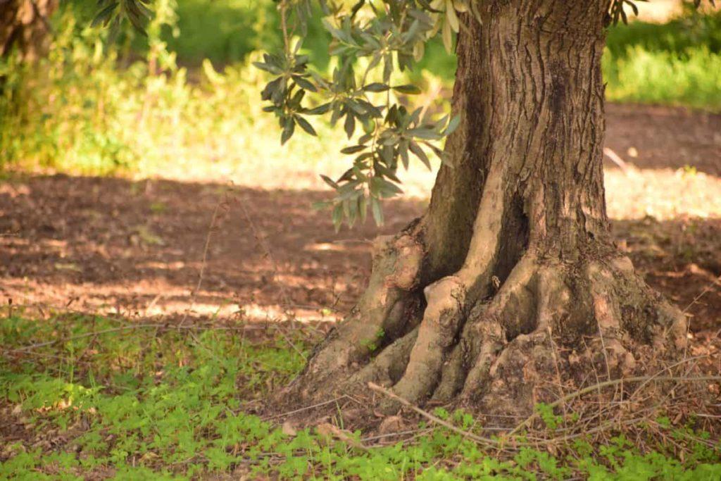 plantation d'un olivier en butée