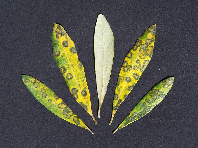 maladie de l'oeil de paon de l'olivier après plantation