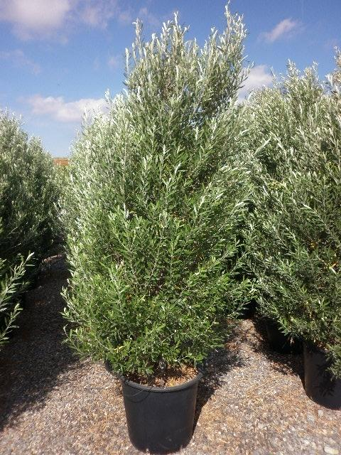 comment planter un olivier cipressino de forme conique