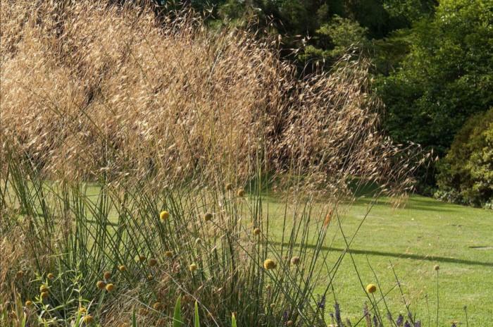 la graminée Stipa gigantea et ses grandes tiges dorées