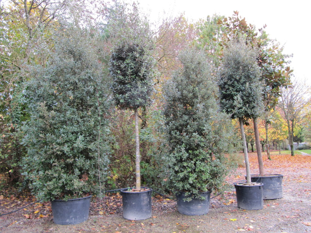 arbres persistants pour cacher les vis à vis que l'on doit planter à plus de 2m de la limite du jardin