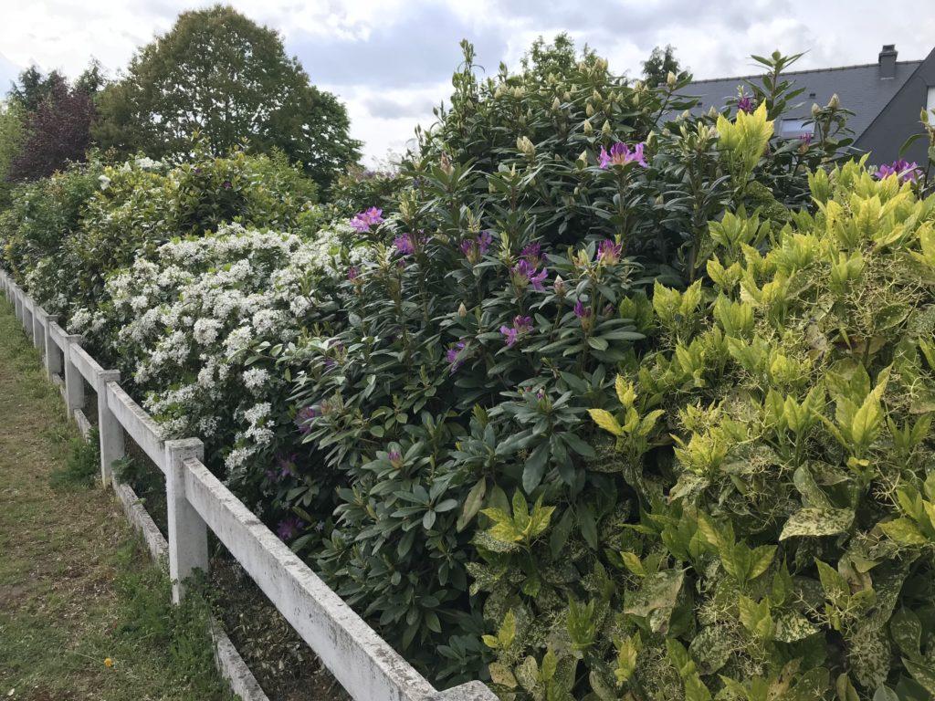 distance arbustes haie variée