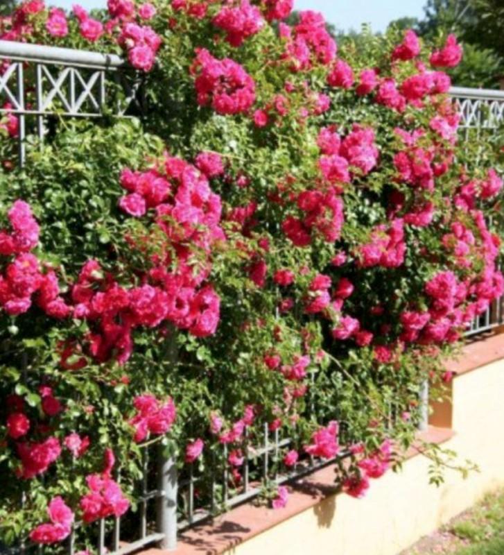 dimensions adulte d'un rosier grimpant sur une clôture de jardin