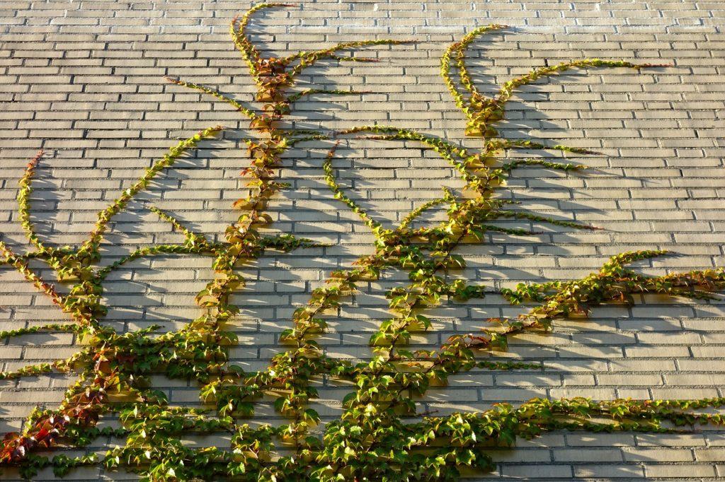 végétaliser un mur avec des grimpantes qui s'accrochent toutes seule