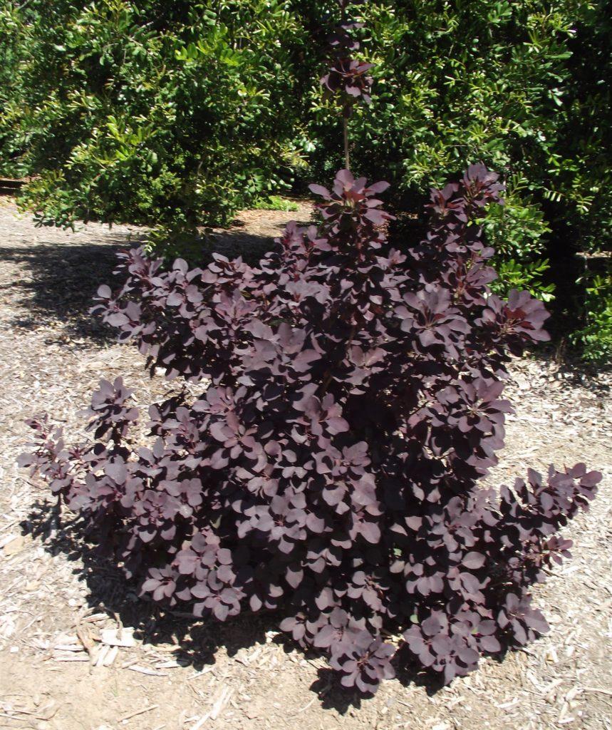 Cotinus feuilles pourpres, arbuste de haie coloré