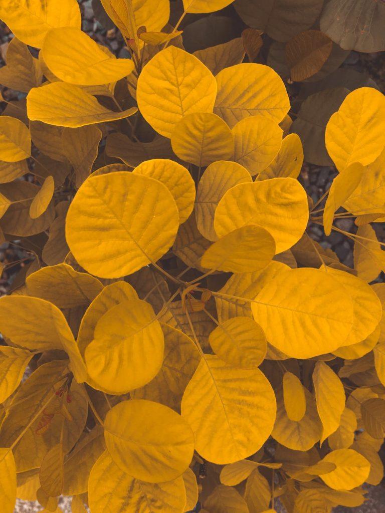 feuillage coloré jaune