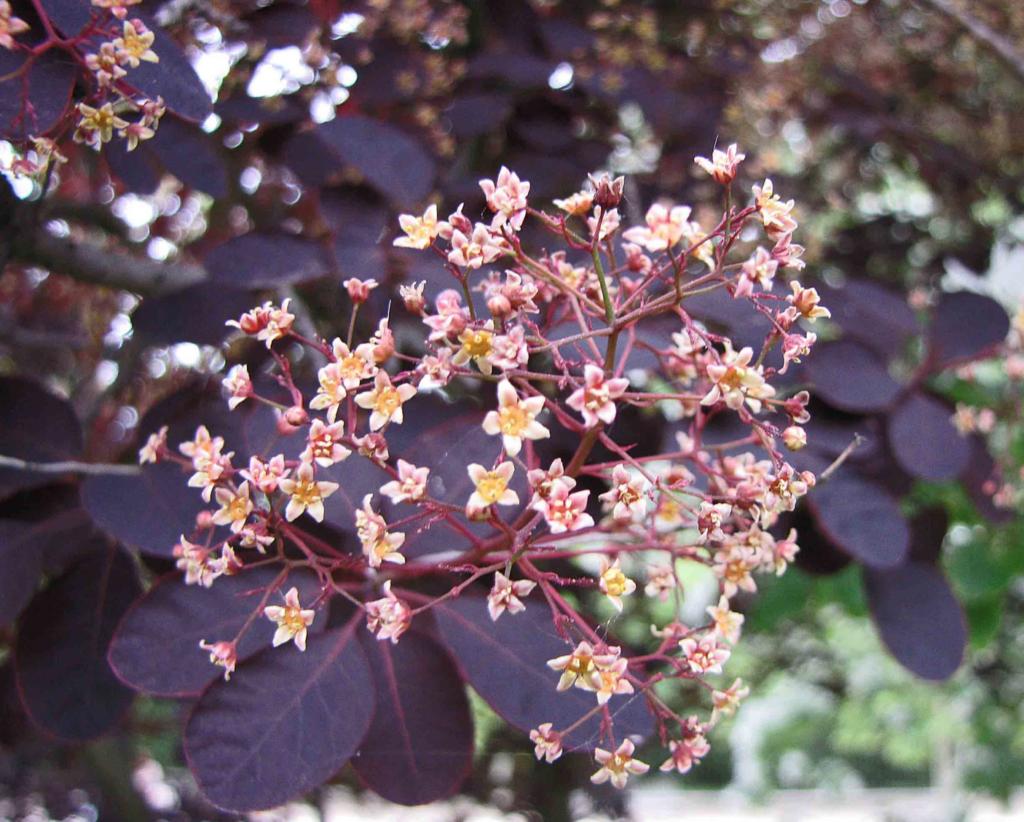 fleurs roses du Cotinus sur le feuillage pourpre