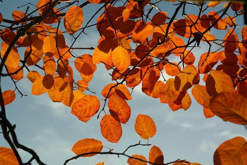 feuillage d'automne de l'amélanchier, un arbuste flamboyant à l'automne