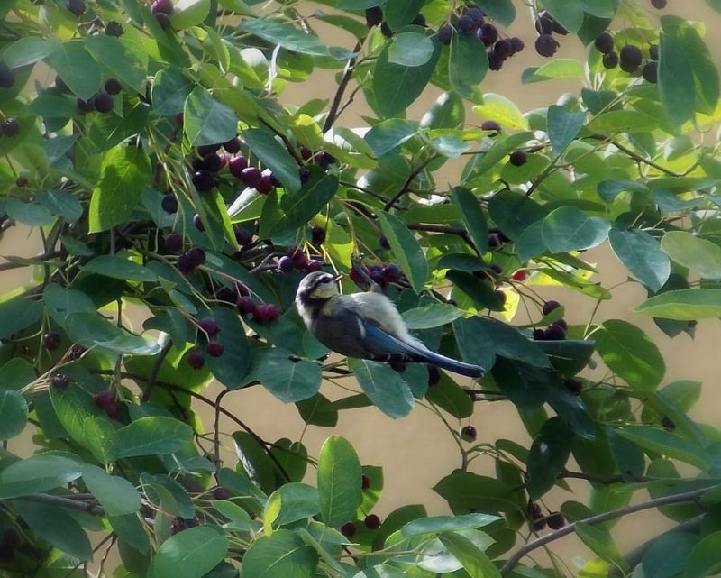 fruits comestibles de l'amélanchier dont raffolent les oiseaux