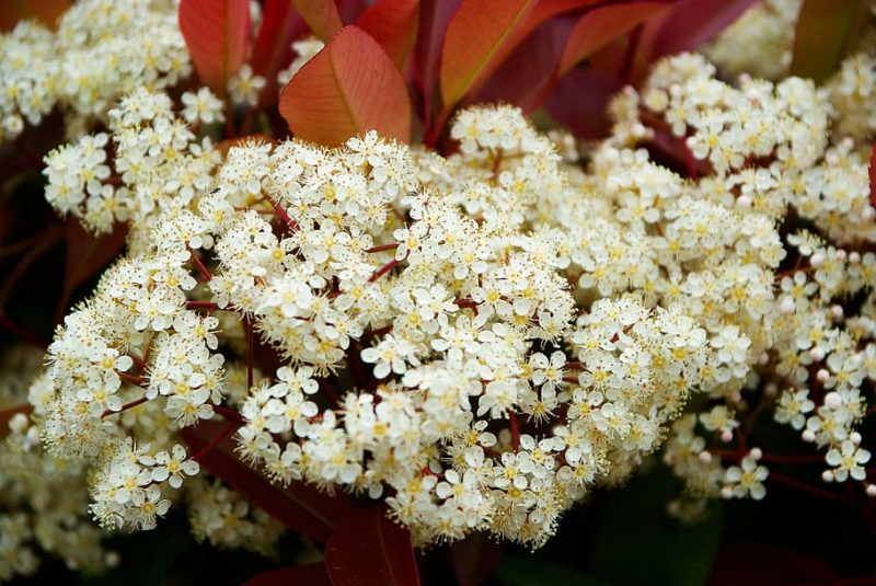 arbuste persistant à feuilles rouges et fleurs blanches