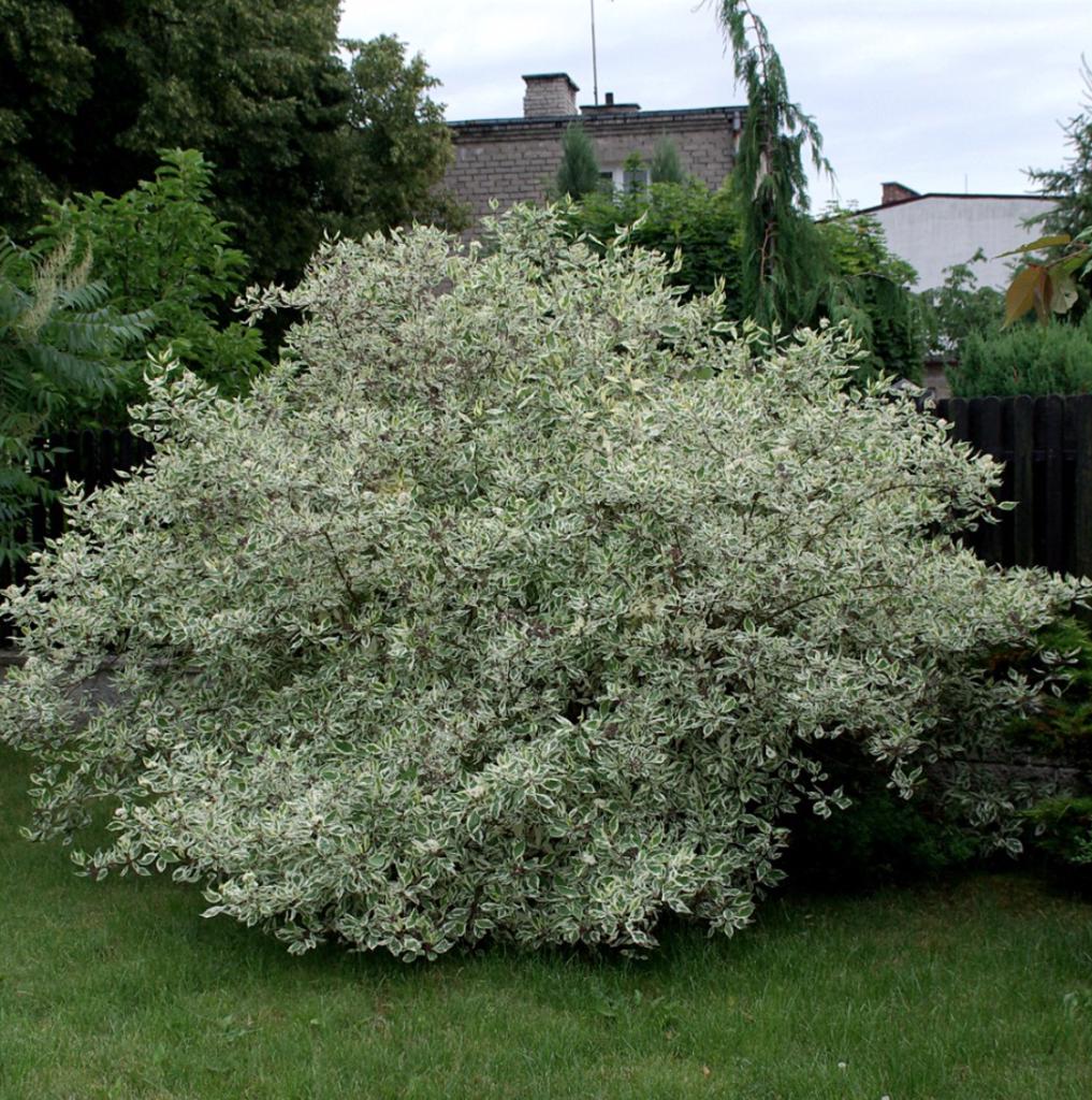 arbuste couleur vert et blanc, le cornouiller blanc ou cornus alba en haie variée