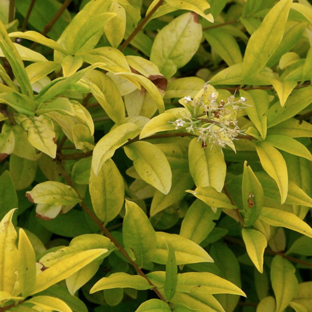 arbuste coloré vert clair, le troène doré