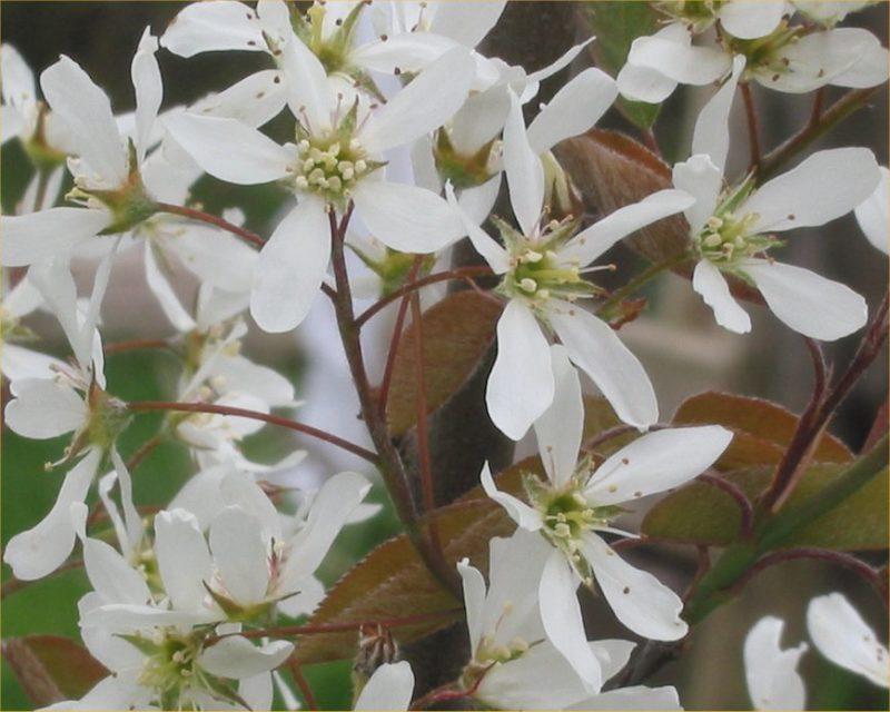fleurs blanches de l'amélanchier