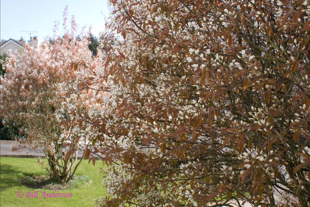 amélanchier en fleurs, arbuste coloré pour le jardin